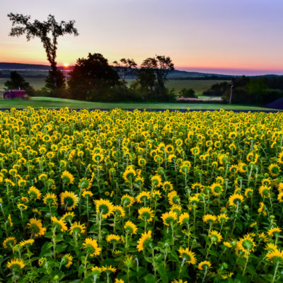 Field of Sunflowers with Elm Tree and sunsetting in background